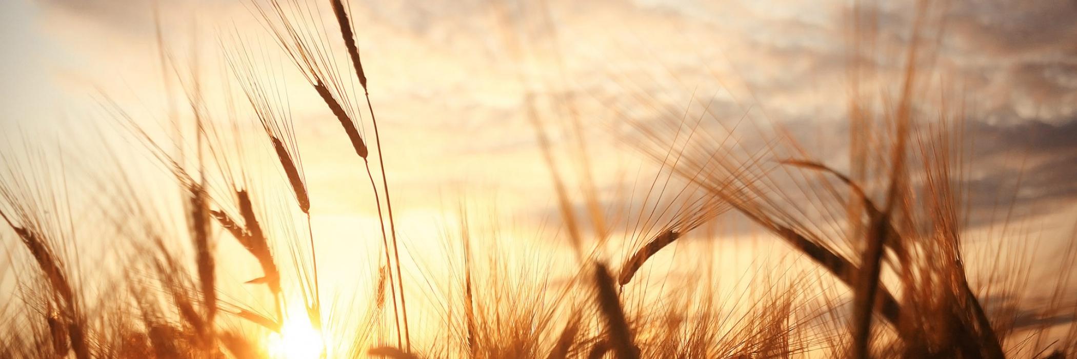 grano al tramonto