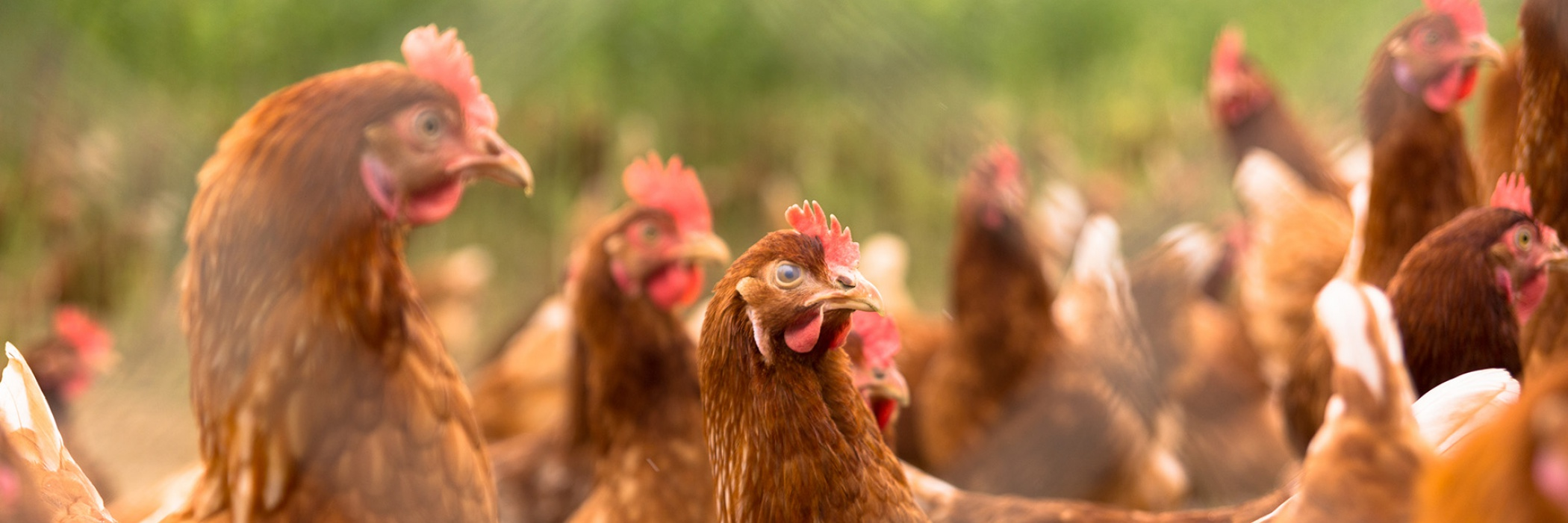 galline in gruppo